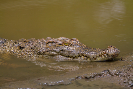 fearful: Close up Siamese Crocodile (Crocodylus siamensis) in Thailand Stock Photo