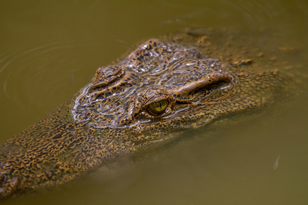 Close up Siamese Crocodile (Crocodylus siamensis) in Thailand Stock Photo