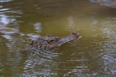 siamensis: Close up Siamese Crocodile (Crocodylus siamensis) in Thailand Stock Photo