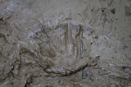 siamensis: Close up footprint of Siamese Crocodile (Crocodylus siamensis) in Thailand