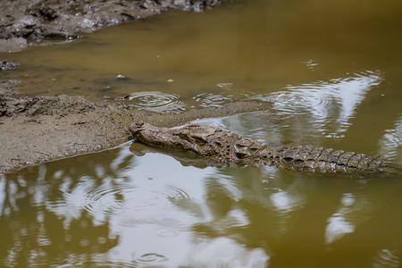 Close up Siamese Crocodile (Crocodylus siamensis) in Thailand Stock Photo