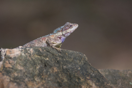 mucus: blue crested lizard (Calotes mystaceus) in tropical forest, thailand