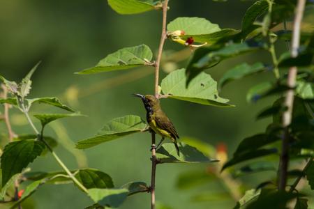 crimson colour: Olive-backed sunbird, Yellow-bellied sunbird on a tree