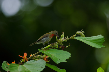 Crimson Sunbird (Aethopyga siparaja) perching on a branch in nature Thailand Stock Photo