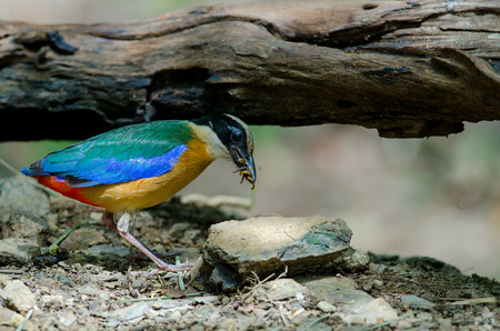 perched: Blue-winged Pitta (Pitta moluccensis)  in nature of Thailand