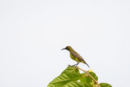sunbird: Olive-backed sunbird, Yellow-bellied sunbird on a tree