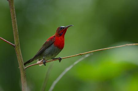 crimson colour: Crimson Sunbird (Aethopyga siparaja) perching on a branch in nature Thailand Stock Photo