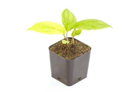young green seedling passiflora plant in clay flowerpot on white background