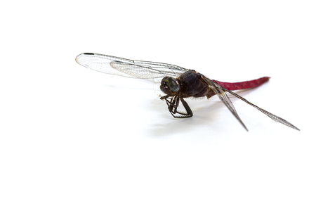 Closeup dragonfly isolated on a white background Stock Photo