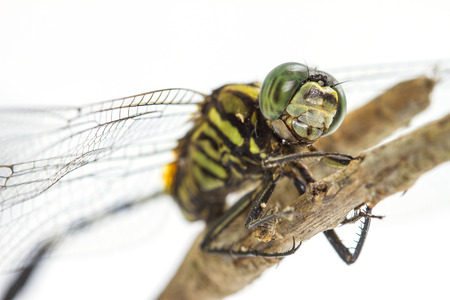 dragonfly perched on a tree branch  isolated on a white background