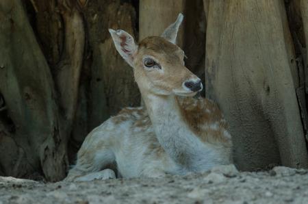 Beautiful White Tail Fawn Deer in farm, Thailand