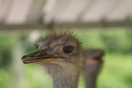 ostrich bird head portrait in the park  (Struthio camelus) Stock Photo