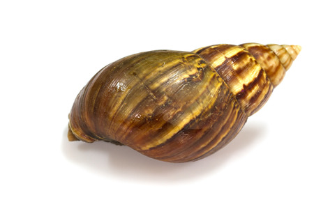 Close up Giant Achatina snail on white background