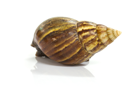 Close up Giant Achatina snail on white background Imagens - 87155436