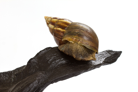 Close up Giant Achatina snail on log over white background Banco de Imagens