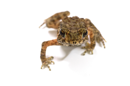 Young Asian common toad isolated on white background Stock Photo