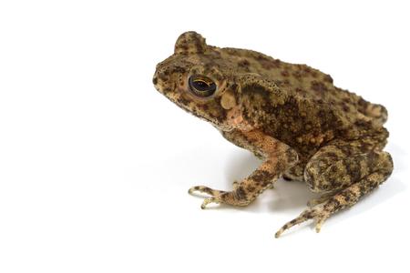 흰 배경에 고립 된 영 아시아 두꺼비