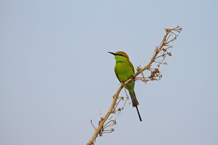 green bee-eater perched on a branch in nature Thailand Stock Photo