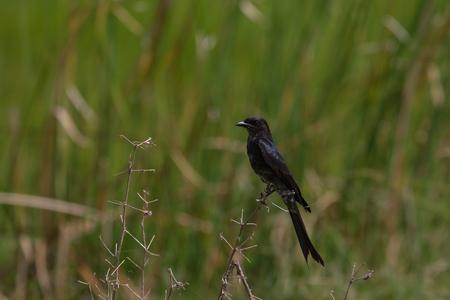 Black drongo, Dicrurus Macrocercus, beautiful bird in forest Stock Photo