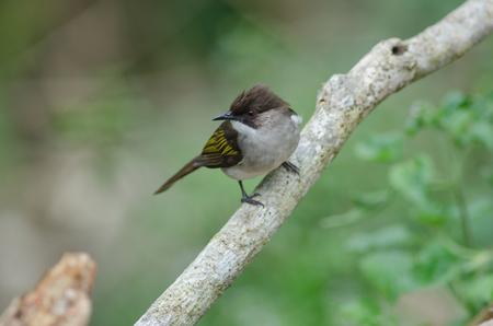 Ashy Bulbul (Hemixos cinerea)  perching on the branch in nature, Thailand Standard-Bild