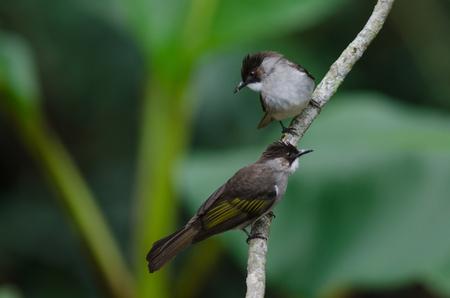 Ashy Bulbul (Hemixos cinerea)  perching on the branch in nature, Thailand Stock Photo