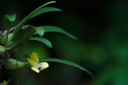 Rare species wild orchids Bulbophyllum sillenianum, it new record species of Thailnad