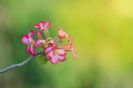Closeup of Desert Rose on background, (Also called Impala Lily, Mock Azalea, Pink adenium) Standard-Bild