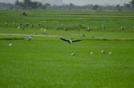 Open-billed stork on rice field (Anastomus oscitans)
