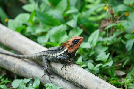 Masked spiny lizard on tree,Masken-Nackenstachler,black face lizard in forest
