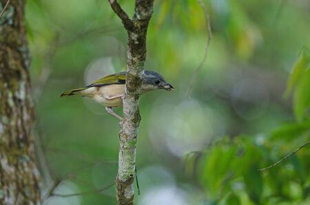 Blyths Shrike-babbler (Pteruthius aeralatus) on tree in forest Standard-Bild