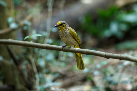 Stripe-throated Bulbul Bird, standing on a branch in nature of thailand