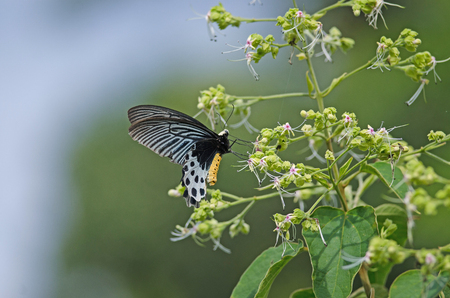 Beautiful Whitehead Batwing butterfly on flower (Parides sycorax) it is rare species Standard-Bild