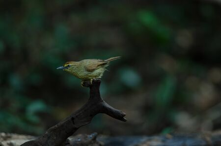Pin-striped Tit Babbler ( Macronus gularis ) in forest Thailand Standard-Bild