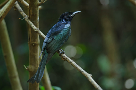 hair-crested drongo perched on a branch in nature Thailand ( Dicrurus hottentottus )