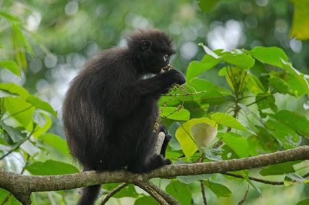 Black Bande langur (Presbytis femoralis) eating green leaf on the tree Standard-Bild