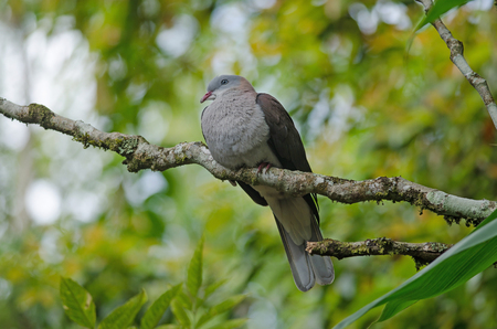 Mountain Imperial Pigeon (Ducula badia) perches on tree in forest