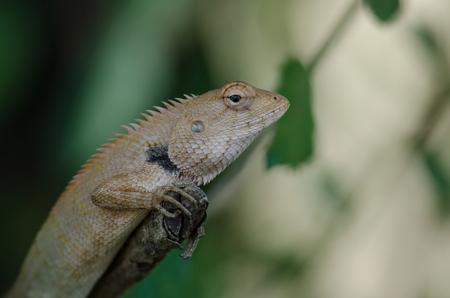 Oriental Garden Lizard sitting on tree bark (Calotes versicolor)