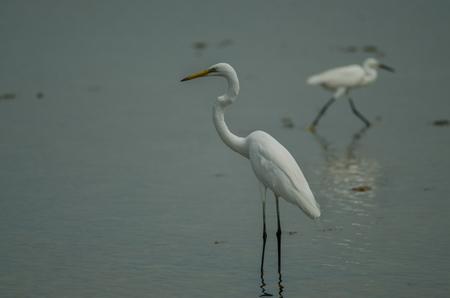 Great Egret standing in a shallow creek (Ardea alba) 版權商用圖片
