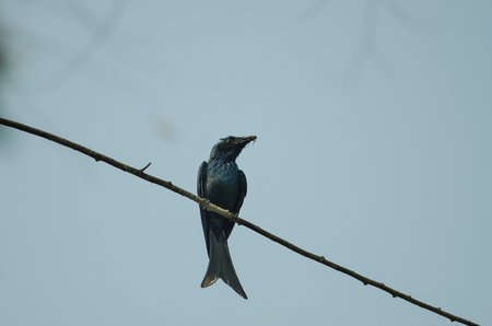 Bronze Drongo bird (Dicrurus aeneus) in nature, Thailand Stock Photo