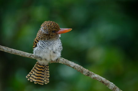 female Banded Kingfisher standing on the branch (Lacedo pulchella)