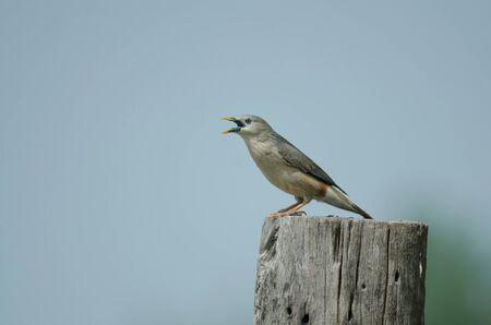 Chestnut-tailed Starling bird (Sturnus malabaricus) standing on the branch in nature, Thailand