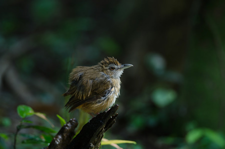 Brown-cheeked Fulvetta, Grey-eyed Fulvetta (Alcippe poioicephala) in forest Thailand