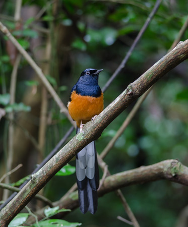 White-rumped Shama (Copsychus malabaricus), standing on a branch