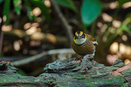 Beautiful female of Malayan Banded Pitta ( Hydrornis irena) in nature, Thailand