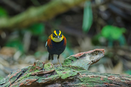 Beautiful male of Malayan Banded Pitta ( Hydrornis irena) in nature, Thailand