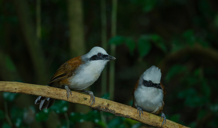 White-crested laughing thrush (Garrulax leucolophus) in nature, Thailand Banco de Imagens