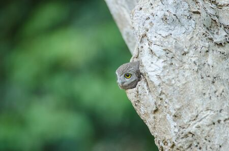 Spotted owlet (Athene brama) in the nature, Thailand Reklamní fotografie
