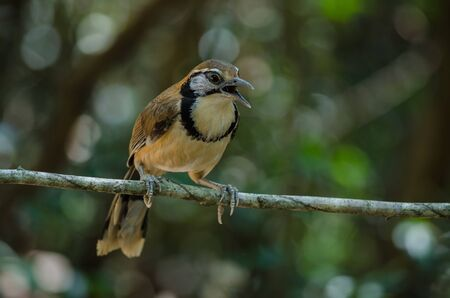 Greater Necklaced Laughingthrush on branch in nature, Thailand (Garrulax pectoralis) Banco de Imagens