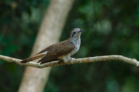 Banded Bay Cuckoo resting on a perch in forest