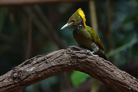 Greater yellownape (Chrysophlegma flavinucha), perched on a tree log in forest Standard-Bild